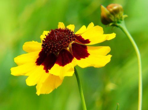 mädchenauge coreopsis tinctoria pointed flower