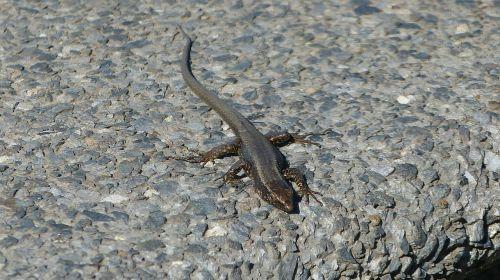 madeira portugal lizard