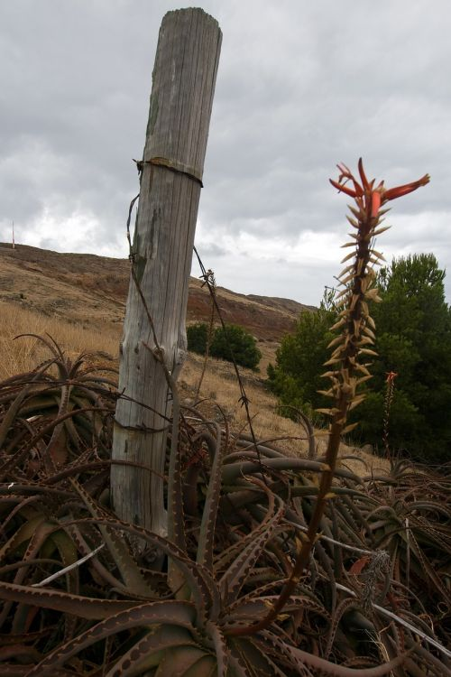 madeira agave nature