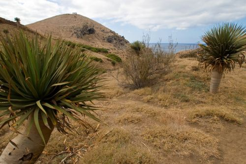 madeira yucca dry