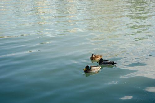 madrid removal ducks