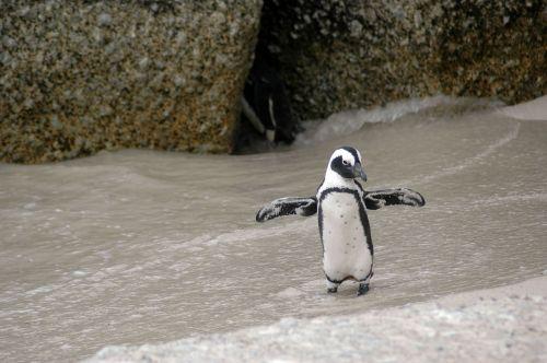magellanic penguin spheniscus magellanicus bird
