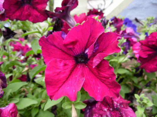 Magenta Colored Flower