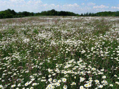mager meadow meadow flower meadow