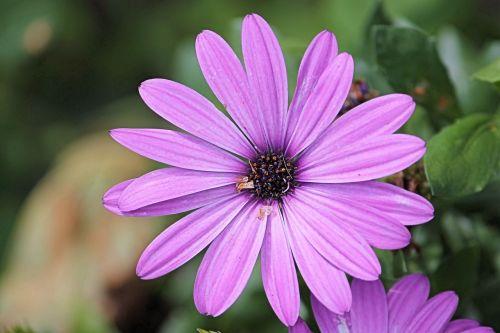 magerite bornholm pink
