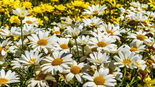 magerite flowers close