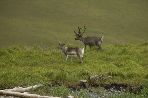 kraštovaizdis, žolė, veja, Doe, elnias, gyvūnas, žinduolis, gyvenimas, laukiniai, Buck, miškai, laukinė gamta, šiaurės elniai, kaimas, gražūs rennes, atka sala