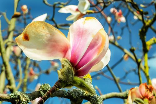 magnolia blossom bloom