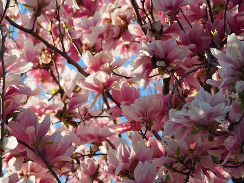 magnolia flowers pink
