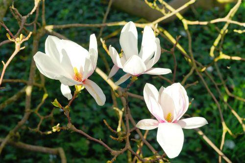 magnolia flowers spring