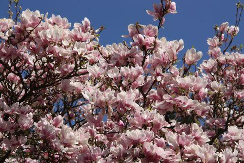 magnolia tree frühlingsblüher