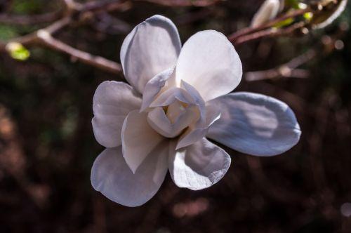 magnolija,balta,žiedas,žydėti,rožinis,pilnai žydėti,viena gėlė,makro,šviesiai rožinė,pavasaris,magnolijos medis,Uždaryti,gėlės,gėlė,žydėti,krūmas žydėti,žiedas,spalva