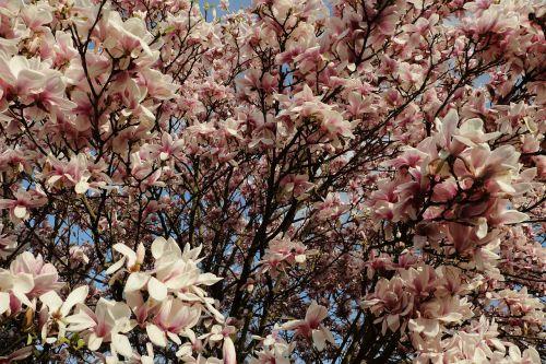 magnolija,magnolijos medis,pavasaris,rožinis,augalas,žiedas,žydėti,budas,gėlės,magnoliengewaechs,frühlingsblüher