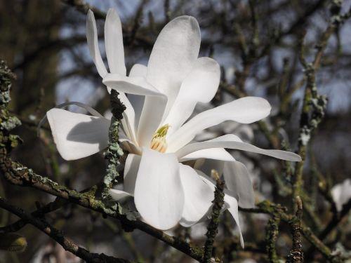 magnolija,balta,pavasaris,filialas,magnoliengewaechs,dekoratyvinis augalas,magnolijos žiedas