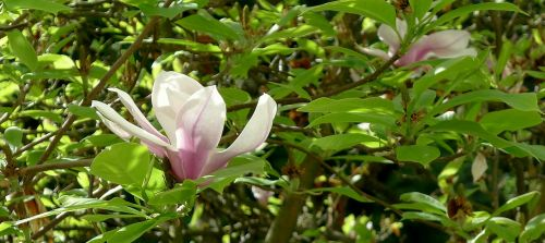 magnolia springtime single flower
