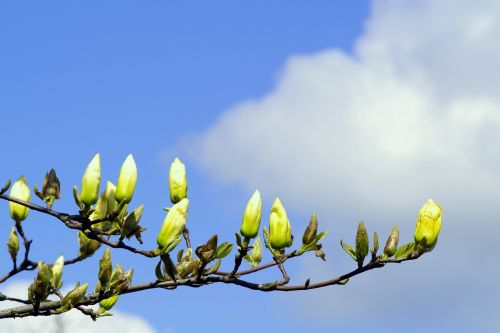 magnolia the buds yellow