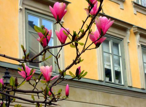 magnolia flowers dissolved