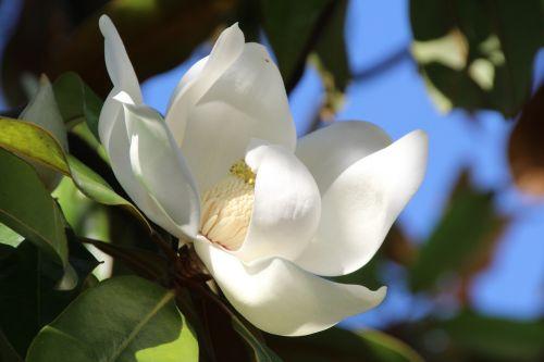 magnolija,balta,žiedas,žydėti,magnoliengewaechs