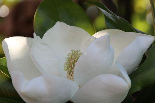 magnolija,balta,magnoliengewaechs,gėlės