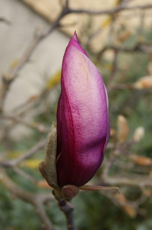 magnolia flower nature