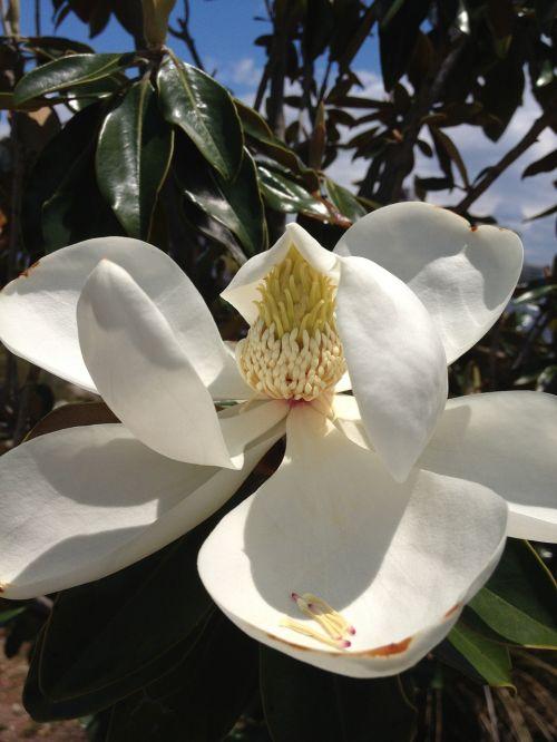 magnolia blossom spring