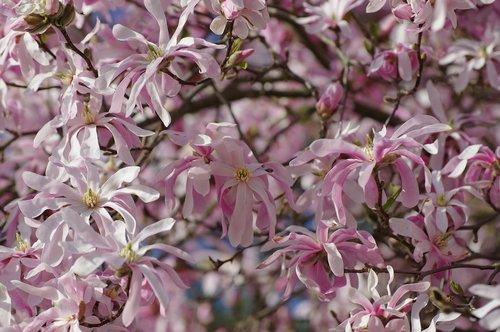 magnolia  flower  plant