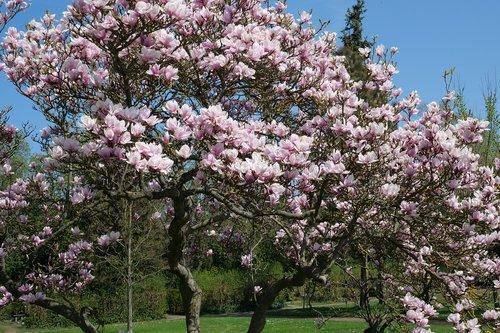 magnolia  magnolia tree  tree