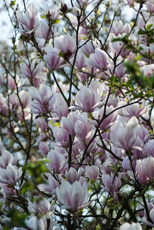 magnolia  blossom plant  nature