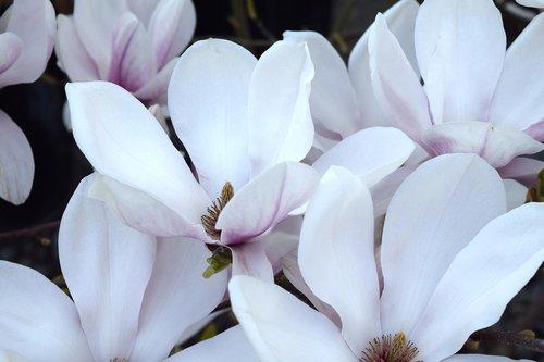 magnolia  leaves  pink