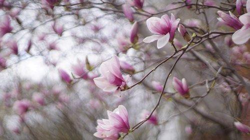 magnolia  magnolia liliiflora  yulania
