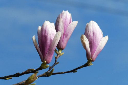 magnolia  flower  button