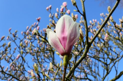 magnolia  bud  spring