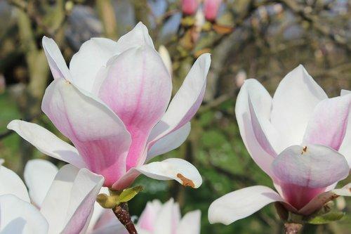 magnolia  white  spring