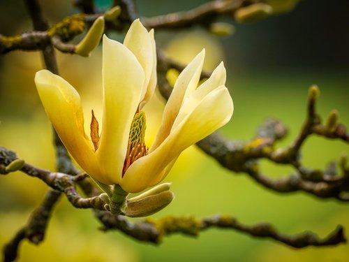 magnolia  yellow  blossom