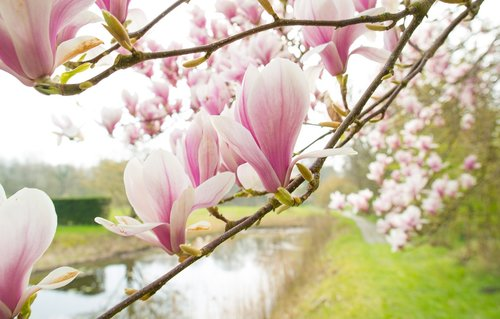 magnolia  pink  spring