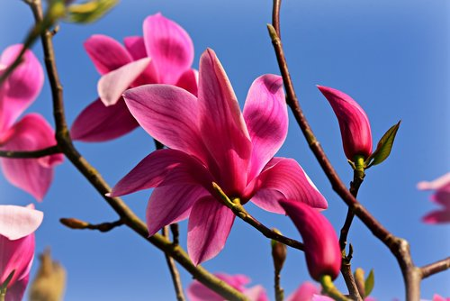 magnolia  flower  tree