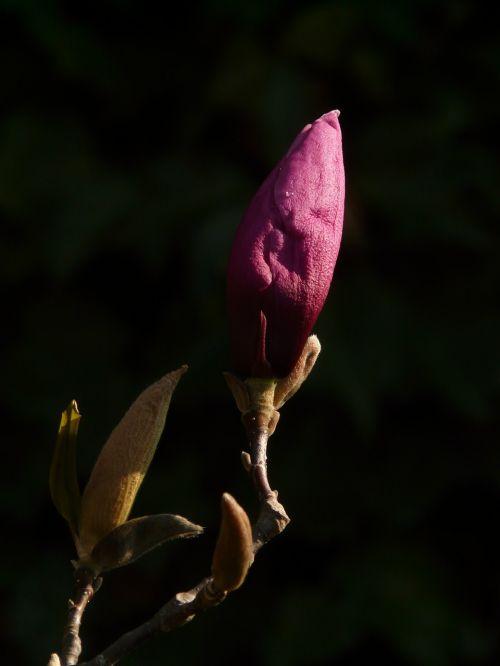 magnolia bud blossom