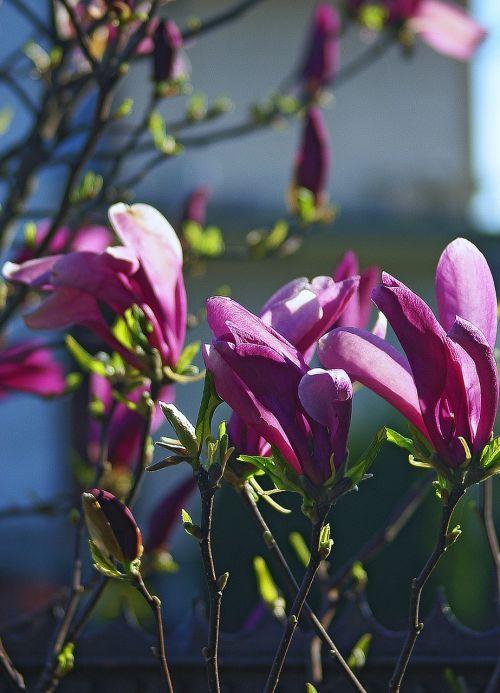 magnolia flower magnolia flower