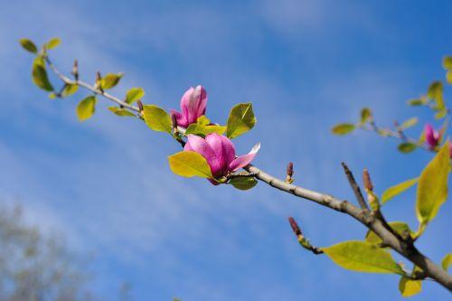 magnolia flowers kiev