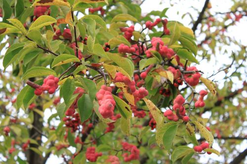 magnolia fruits red