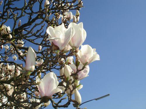 magnolia frühlingsblüher flowers