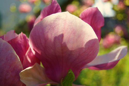 magnolijos žiedas,Uždaryti,magnoliengewaechs,magnolija,gamta,pavasaris,gėlės,gražus