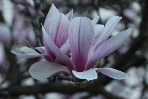 magnolijos žiedas,tulpių medis,atgal šviesa