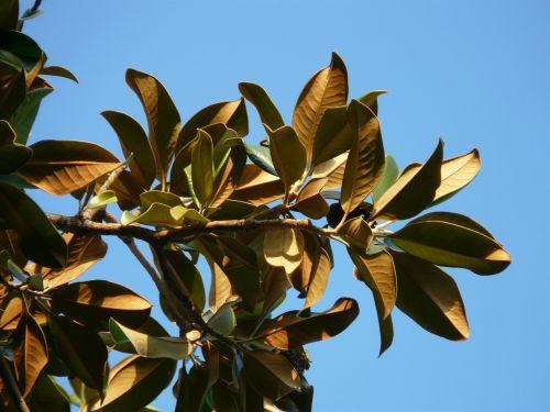 magnolijos lapai,medis,lapai,magnolija,magnoliengewaechs,magnoliaceae