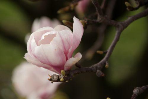 magnolias spring flowers