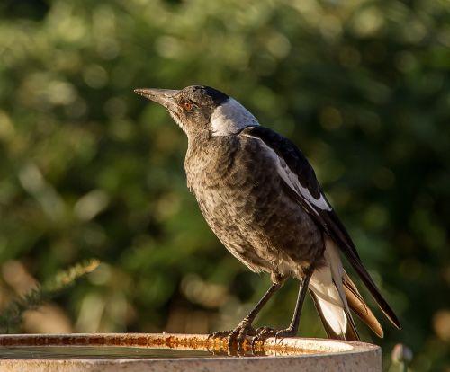 magpie australian magpie cracticus tibicen