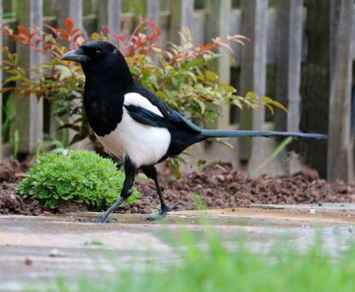 magpie bird black and white