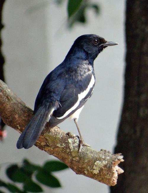 magpie robin copsychus saularis