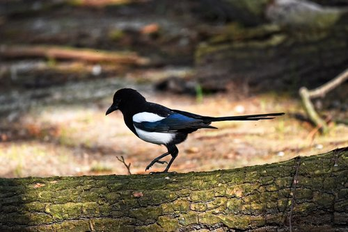 magpie  bird  animal
