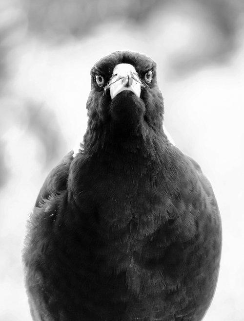 magpie  australian magpie  beak